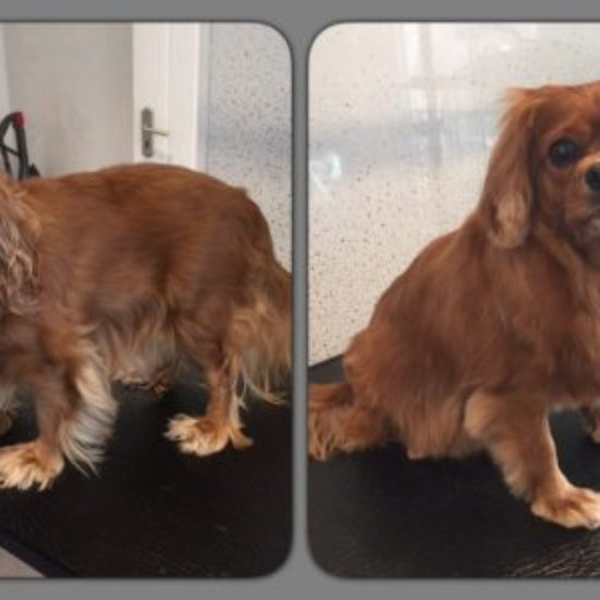 Rosie - Before & After her dog groom at Shaggy to Chic