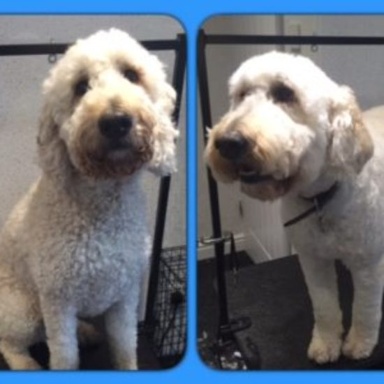 Barney  - Before & After his dog groom at Shaggy to Chic