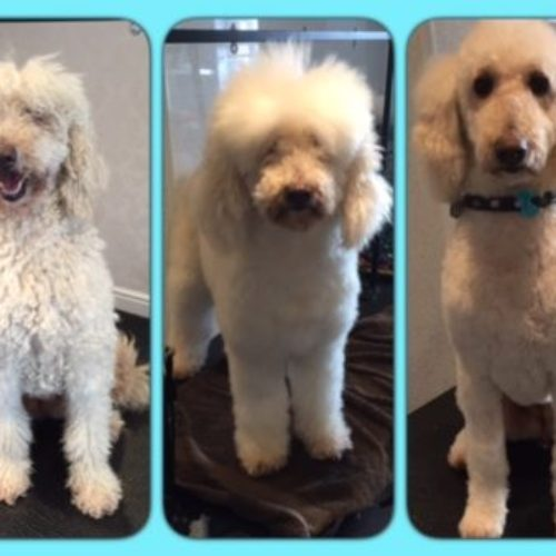 Candy - before during  and after her dog groom at Shaggy to Chic