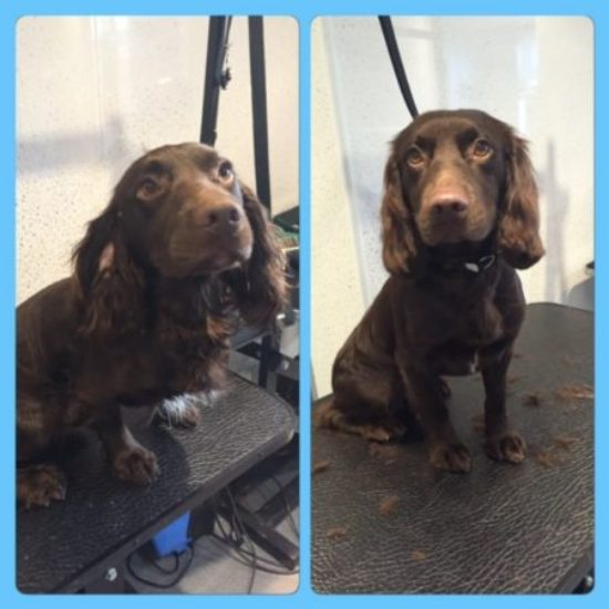 Benjy - Before & After his dog groom at Shaggy to Chic