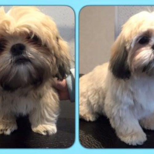 Alfie - Before & After his dog groom at Shaggy to Chic