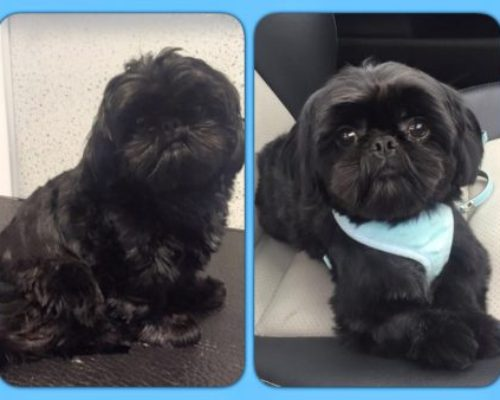 Bailey - Before & After his dog groom at Shaggy to Chic