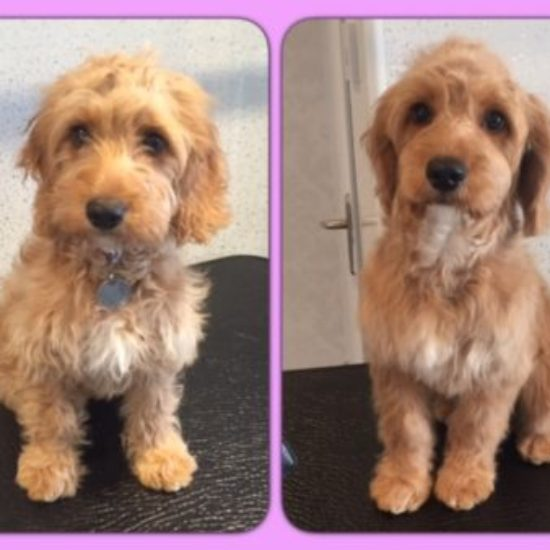 Bella  - Before & After her dog groom at Shaggy to Chic