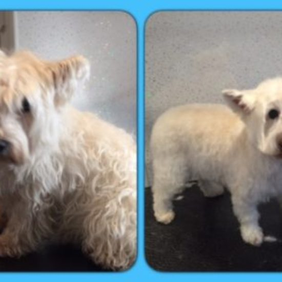 Westie Maisy - Before & After her dog groom at Shaggy to Chic