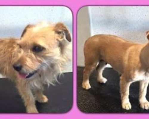 Pip - Before & After her dog groom at Shaggy to Chic