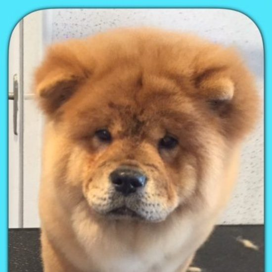 Teddi after his dog groom at Shaggy to Chic
