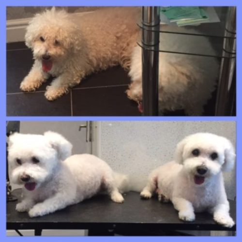 Tazz and Jazz - Before & After her dog groom at Shaggy to Chic